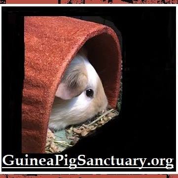 Logo of charity Guinea Pig Sanctuary